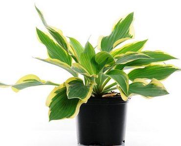 salon yaprağı bitkisi
